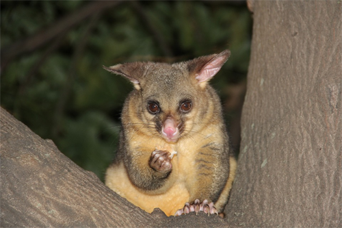Rodent & Possum Control Adelaide